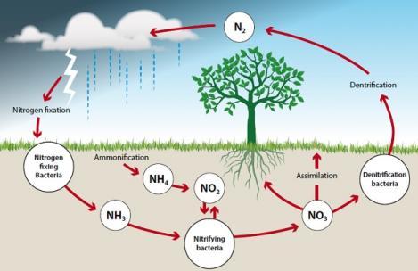 چرخه نیتروژن در طبیعت
